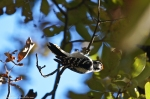HSNP Upper Dogwood Trail Male Downy Woodpecker