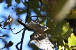 HSNP Upper Dogwood Trail Male Downy Woodpecker
