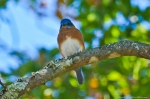 HSNP Goat Rock Trail Eastern Bluebird