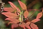 HSNP Goat Rock Trail Grasshopper in Ornamental Bamboo