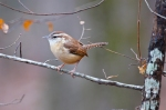 HSNP Upper Dogwood Trail Carolina Wren