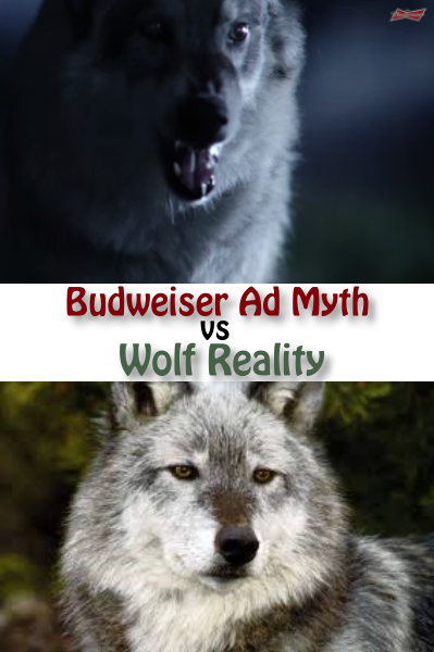 Wolf Budweiser Myth And Reality