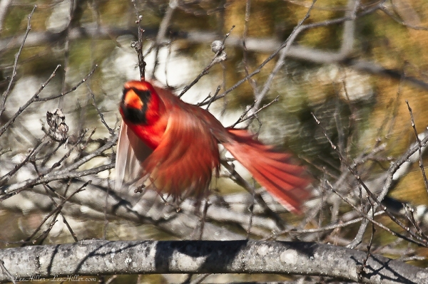 HSNP Male Cardinal landing lift off