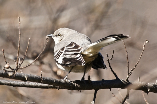 HSNP Little Mockingbird returns after chasing off a Male Cardinal