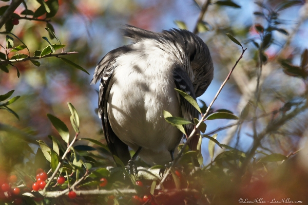 HSNP Mockingbird Grooming Feathers