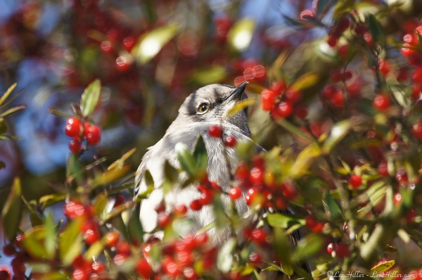 HSNP Mockingbird Chilling in the Berry Tree