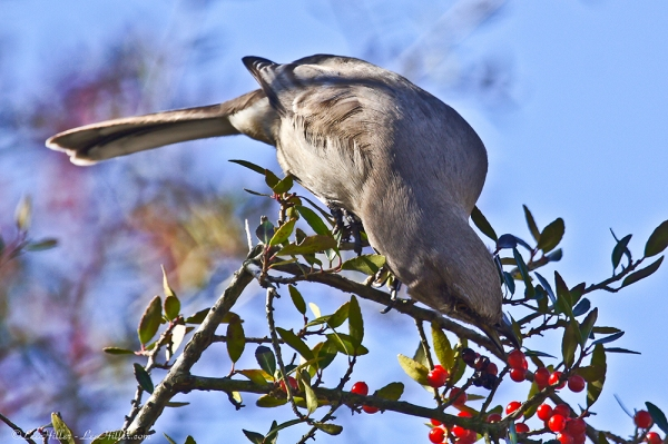 HSNP Mockingbird Berry Good Breakfast