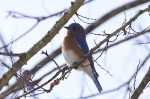 HSNP Hot Springs Mt Trail Eastern Bluebird