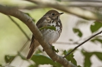 HSNP Hot Springs Mt Trail Hermit Thrush