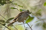 HSNP Hot Springs Mt Trail White Throated Sparrow
