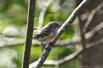 HSNP Hot Springs Mt Trail Yellow Rumped Warbler