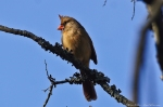 HSNP Tufa Terrace Trail Female Cardinal