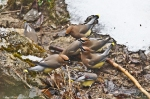 HSNP Cedar Waxwings Spa Day in Ice and Snow