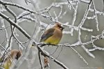 HSNP Cedar Waxwings Ice Trees
