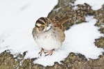 HSNP White-Throated Sparrow waiting to get in the Hot Water Cascade