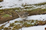 HSNP Peak Trail Snow Female Junco