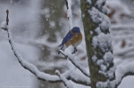 HSNP Floral Trail Snow Eastern Bluebird