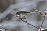 HSNP Floral Trail Snow Junco Eating Berries