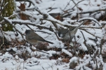 HSNP Hot Springs Mountain Trail Snow Junco