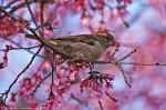 Sparrow Eating Cherry Blossoms