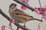 Sparrow gathering nesting material in Cherry Blossom Tree