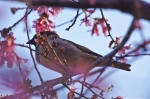 Sparrow in Cherry Blossom Tree