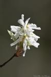 HSNP Goat Rock Trail Downy Serviceberry Blossom