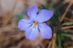 HSNP Gulpha Gorge Trail Bird Foot Violet