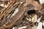 HSNP Gulpha Gorge Trail Prairie Lizard