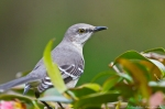 HSNP Young Mockingbird in Camellia Bush