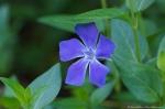 HSNP Flowering Myrtle aka Periwinkle