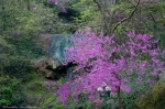HSNP Hot Water Cascade Spring RedBud Tree