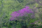 HSNP Layers of Spring RedBud Tree