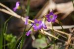HSNP Goat Rock Trail Purple Oxalis