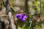 HSNP Goat Rock Trail Purple Spiderwort