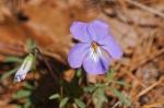 HSNP Hot Spring Mt Trail Bird Foot Violets