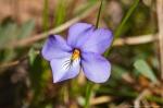 HSNP Hot Spring Mt Trail Bird Foot Violet