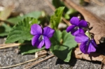 HSNP North MT Loop Wild Violets