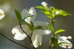 HSNP Upper Dogwood Trail Dogwood Blossoms