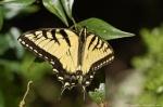 HSNP Goat Rock Trail Female Eastern Tiger Swallowtail Butterfly