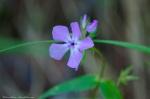 HSNP Goat Rock Trail Smooth Phlox Lavender