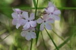 HSNP Goat Rock Trail Smooth Phlox Pale Pink