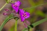 HSNP Goat Rock Trail Spiderwort Bright Pink