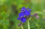 HSNP Goat Rock Trail Spiderwort Purple