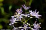 HSNP Goat Rock Trail Wild Hyacinth