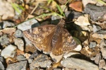 HSNP Hot Springs Mountain Trail Duskywing Skipper Butterfly
