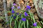 HSNP North Mountain Spiderwort Purple