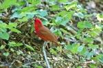 HSNP Goat Rock Trail Male Cardinal