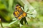 HSNP Goat Rock Trail Pearl Crescent Butterfly