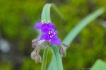 HSNP Goat Rock Trail Spiderwort